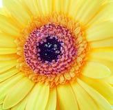 Primer amarillo de la flor del germini del gerbera Fotos de archivo