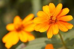 Primer amarillo de la flor del Zinnia Foto de archivo libre de regalías