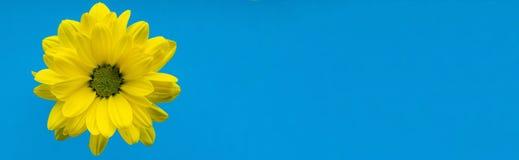Primer amarillo de la flor en fondo azul Fotos de archivo libres de regalías
