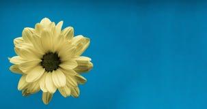 Primer amarillo de la flor en fondo azul Fotografía de archivo