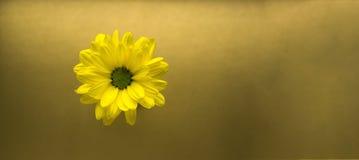 Primer amarillo de la flor en un fondo del oro Foto de archivo