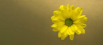 Primer amarillo de la flor en un fondo del oro Imágenes de archivo libres de regalías
