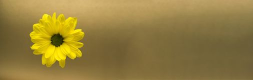 Primer amarillo de la flor en un fondo del oro Fotografía de archivo