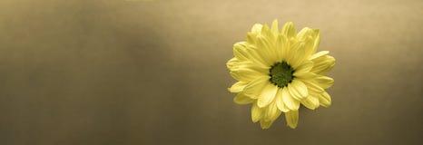 Primer amarillo de la flor en un fondo del oro Foto de archivo libre de regalías