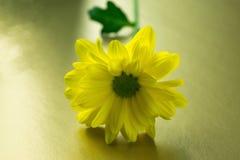 Primer amarillo de la flor en un fondo del oro Fotos de archivo libres de regalías