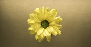 Primer amarillo de la flor en un fondo del oro Fotografía de archivo libre de regalías