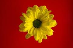 Primer amarillo de la flor en un fondo rojo brillante Foto de archivo