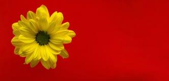 Primer amarillo de la flor en un fondo rojo brillante Imágenes de archivo libres de regalías