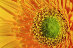 Primer amarillo de la margarita Foto de archivo libre de regalías