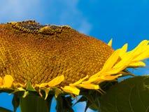 Primer amarillo de la naturaleza de la abeja del cielo azul del verano del girasol Imagenes de archivo