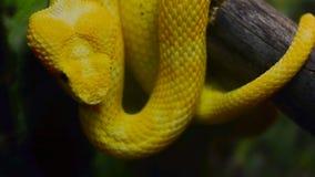 Primer amarillo de la víbora de la pestaña almacen de metraje de vídeo