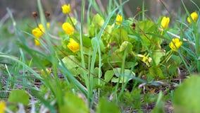 Primer amarillo de las flores del bosque almacen de metraje de vídeo