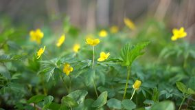 Primer amarillo de las flores del bosque almacen de video