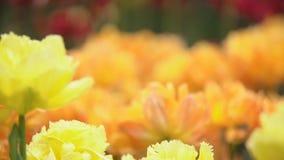 Primer amarillo de los tulipanes