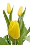 Primer amarillo de los tulipanes en blanco Imagen de archivo libre de regalías