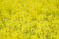 Primer amarillo del campo de la rabina Fotografía de archivo libre de regalías