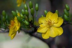 Primer amarillo del flor del albaricoque (el AMI) de Hoa, las flores del Año Nuevo Foto de archivo
