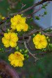 Primer amarillo del flor del albaricoque, las flores del Año Nuevo tradicional Fotos de archivo