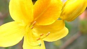 Primer amarillo del flor del rododendro, detalle del pistilo y estambre almacen de video