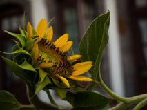Primer amarillo del girasol foto de archivo