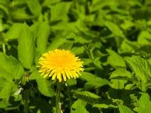 Primer amarillo del officinale del Taraxacum del diente de león común de la flor, bordes suaves, foco selectivo, DOF bajo Imágenes de archivo libres de regalías