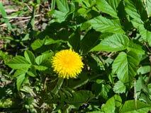Primer amarillo del officinale del Taraxacum del diente de león común de la flor, bordes suaves, foco selectivo, DOF bajo Imagenes de archivo