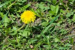 Primer amarillo del officinale del Taraxacum del diente de león común de la flor, bordes suaves, foco selectivo, DOF bajo Foto de archivo