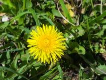 Primer amarillo del officinale del Taraxacum del diente de león común de la flor, bordes suaves, foco selectivo, DOF bajo Fotos de archivo
