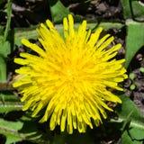 Primer amarillo del officinale del Taraxacum del diente de león común de la flor, bordes suaves, foco selectivo, DOF bajo Fotografía de archivo
