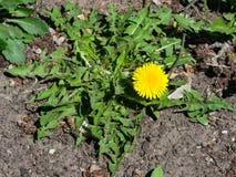 Primer amarillo del officinale del Taraxacum del diente de león común de la flor, bordes suaves, foco selectivo, DOF bajo Fotografía de archivo libre de regalías