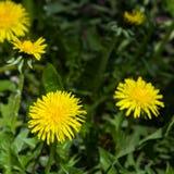 Primer amarillo del officinale del Taraxacum del diente de león común de la flor, bordes suaves, foco selectivo, DOF bajo Imagen de archivo