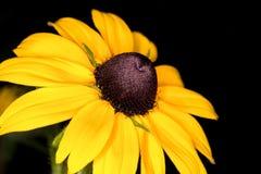 Primer amarillo del orientale del Doronicum de la margarita Fotos de archivo