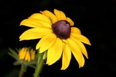 Primer amarillo del orientale del Doronicum de la margarita Foto de archivo