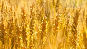 Primer amarillo del punto del trigo en destello de la luz del sol en la puesta del sol metrajes