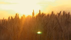 Primer amarillo del punto del trigo en destello de la luz del sol en la puesta del sol almacen de metraje de vídeo