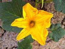 Primer amarillo hermoso de la flor Foto de archivo