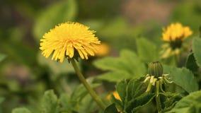 Primer amarillo hermoso de la flor en el claro Foto de archivo libre de regalías