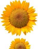 Primer amarillo hermoso de los pétalos del girasol Imagen de archivo