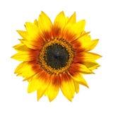 Primer amarillo hermoso de los pétalos del girasol aislado Fotos de archivo libres de regalías