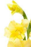 Primer amarillo hermoso del gladiolo Imagen de archivo