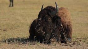 Primer americano salvaje del búfalo almacen de metraje de vídeo