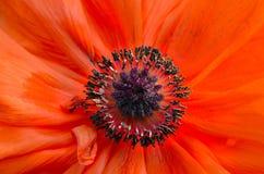 Primer anaranjado abstracto del disco del espiral de la flor de la amapola Imagen de archivo