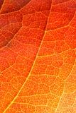Primer anaranjado de la hoja Fotografía de archivo libre de regalías