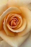 Primer anaranjado de la macro de Rose Fotografía de archivo libre de regalías