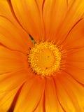 Primer anaranjado de la margarita del gerbera que muestra el estambre de centro amarillo Foto de archivo libre de regalías