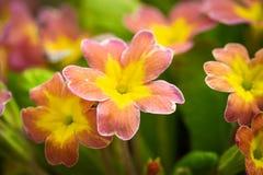 Primer anaranjado de la primavera de la flor de la primavera foto de archivo libre de regalías