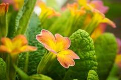 Primer anaranjado de la primavera de la flor de la primavera imagen de archivo