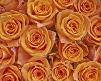 Primer anaranjado de las rosas Imágenes de archivo libres de regalías