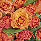 Primer anaranjado de las rosas Imagen de archivo libre de regalías
