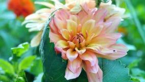 Primer anaranjado del gerbera en un fondo verde borroso Imagen de archivo